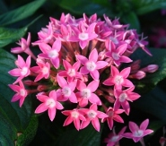 Butterfly™ Deep Pink Pentas, Egyptian Star Cluster