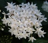 Butterfly™ White Pentas, Egyptian Star Cluster
