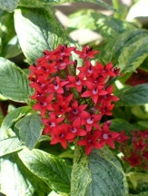 Stars & Stripes Pentas, Egyptian Star Cluster, Pentas lanceolata 'Stars & Stripes'