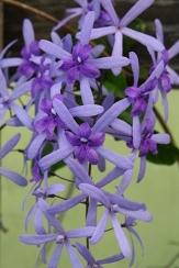 Queen's Wreath, Sandpaper Vine, Blue Petrea, Purple Wreath