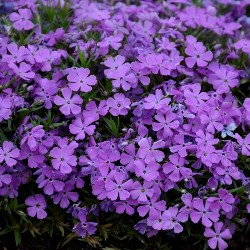 MOUNTAINSIDE™ Crater Lake Hybrid Creeping Phlox (Indigo Purple)