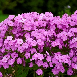 Fashionably Early Princess Phlox (Light Fuchsia Pink)