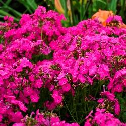 Kung Fuchsia Phlox (Fuchsia Pink)