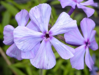 Mary Helen Woodland Phlox, Wild Sweet William, Wild Blue Phlox