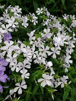 May Breeze Phlox, Woodland Phlox, Wild Sweet William, Wild Blue Phlox