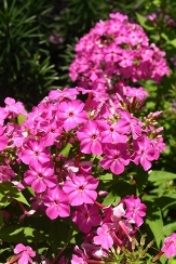 Early™ Cerise Garden Phlox, Summer Border Phlox, Fall Phlox