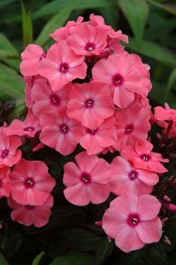 Candy Store™ Coral Crème Drop™ Garden Phlox, Summer Border Phlox, Fall Phlox