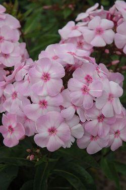 Candy Store™ Cotton Candy™ Garden Phlox, Summer Border Phlox, Fall Phlox