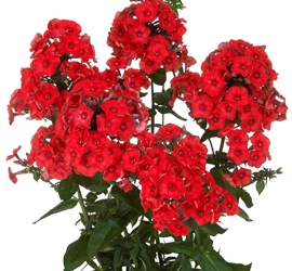 Flame™ Red Garden Phlox