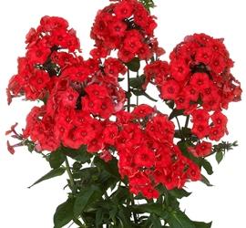 Flame™ Red Garden Phlox