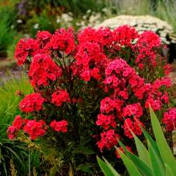 Red Riding Hood Garden Phlox