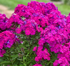 LUMINARY™ Ultraviolet Garden Phlox, Summer Border Phlox, Fall Phlox