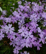 Emerald Blue Creeping Phlox, Moss Phlox, Thrift