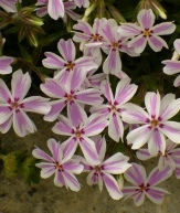 Candy Stripe Creeping Phlox, Moss Phlox, Thrift, Phlox subulata 'Candy Stripe'