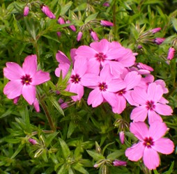 Red Wings Creeping Phlox, Moss Phlox, Thrift