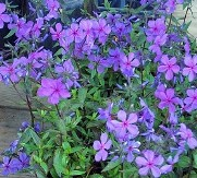 Louisiana Blue Phlox, Woodland Phlox, Wild Sweet William, Wild Blue Phlox