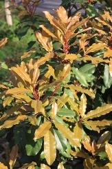 Chinese Photinia, Chinese Hawthorn, serrulata