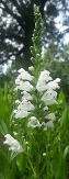 Crown of Snow Obedient Plant, False Dragon's Head