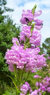 Fall Obedient Plant, False Dragonshead