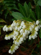 Temple Bells Pieris, Lily of the Valley Bush, Andromeda