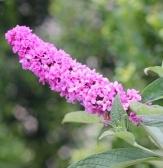 Lo' & Behold™ Pink Micro Chip Butterfly Bush, Buddleja