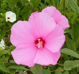 Pink Flowered Crimson-Eyed Rosemallow, Swamp Mallow, Hibiscus moscheutos (pink form)