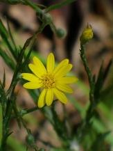 Narrowleaf Silk Grass, Grassleaved Goldenaster