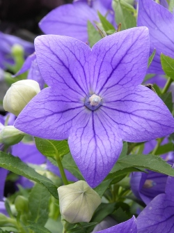 Sentimental Blue Balloon Flower, Japanese Bellflower, Korean Bellflower, Chinese Bellflower