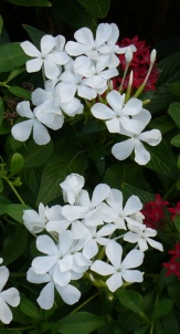 White Plumbago, Cape Leadwort