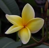 Yellow Frangipani, Plumeria, Nosegay
