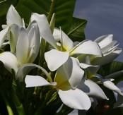 White Frangipani, Plumeria