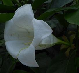 Glorious Flower of Cuba, Bell Flower of Jamaica, White Horse Flower
