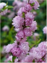 Dwarf Double Pink Flowering Almond