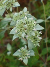 Whiteleaf Mountainmint, Sage