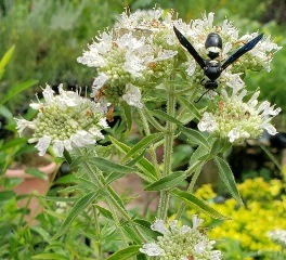Hairy Mountainmint, Whorled Mountainmint
