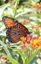 Butterfly Nectar Sources