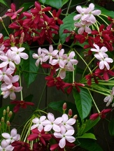 Rangoon Creeper, Drunken Sailor, Chinese Honeysuckle