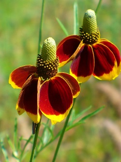 Mexican Hat, Grey Headed Coneflower, Upright Prairie Coneflower, Red Hats