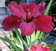 Red Velvet Elvis Louisiana Iris (Red, Yellow Signals, Early to Late Season)