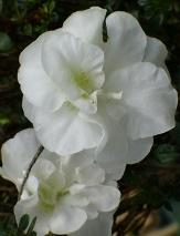 Baby White Rosebud Azalea (Miniature)