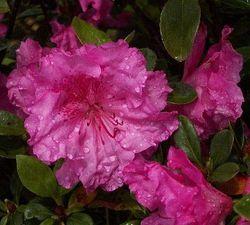 Michaele Lux Evergreen Azalea (Aromi)