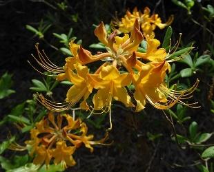 Escatawpa Florida Flame Deciduous Native Azalea