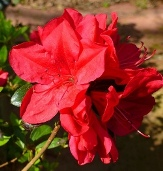 Coronado Red Azalea