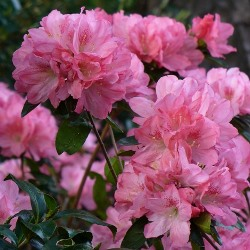 Hampton Beauty Evergreen Azalea (Pericat Hybrid)