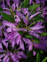 Purple Spider Azalea, Koromo Shikibu Azalea