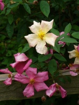 Mutabilis Rose, The Butterfly Rose, Rosa chinensis 'Mutabulis'