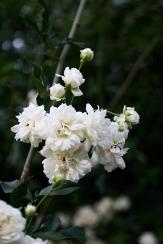 White Lady Banks' Rose, Banksia Rose