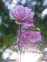 Old Blush Rose