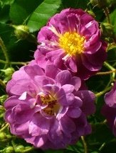Veilchenblau Climbing Rose