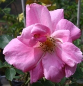Carefree Beauty or Katy Road Pink Rose